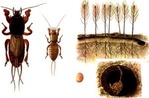 Adult si larva de Coropisnita (Gryllotalpa gryllotalpa)