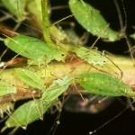 Afide (Macroshiphum euphorbiae)