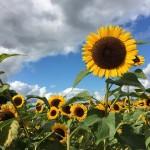 Boli floarea soarelui