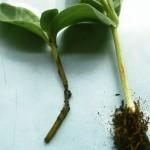 Caderea plantutelor (Pythium debaryanum)