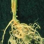 Caderea si putrezirea plantutelor