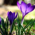 close-up-of-blooming-crocus_00450736