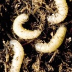 Larve Ratisoara Porumbului / Gargarita frunzelor de porumb (Tanymecus dilaticollis)