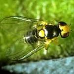 Musca miniera (Liriomyza Trifolii)