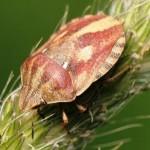 Eurygaster sp.