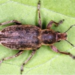 Ratisoara Porumbului / Gargarita frunzelor de porumb (Tanymecus dilaticollis)