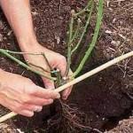 pregatirea locului de plantare