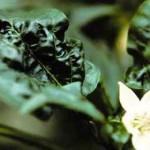 Paduchele verde (Myzus Persicae) - atac la frunze